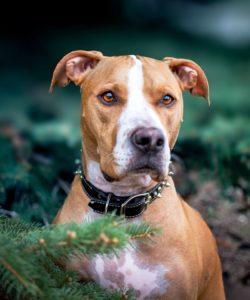 pittie dog photo